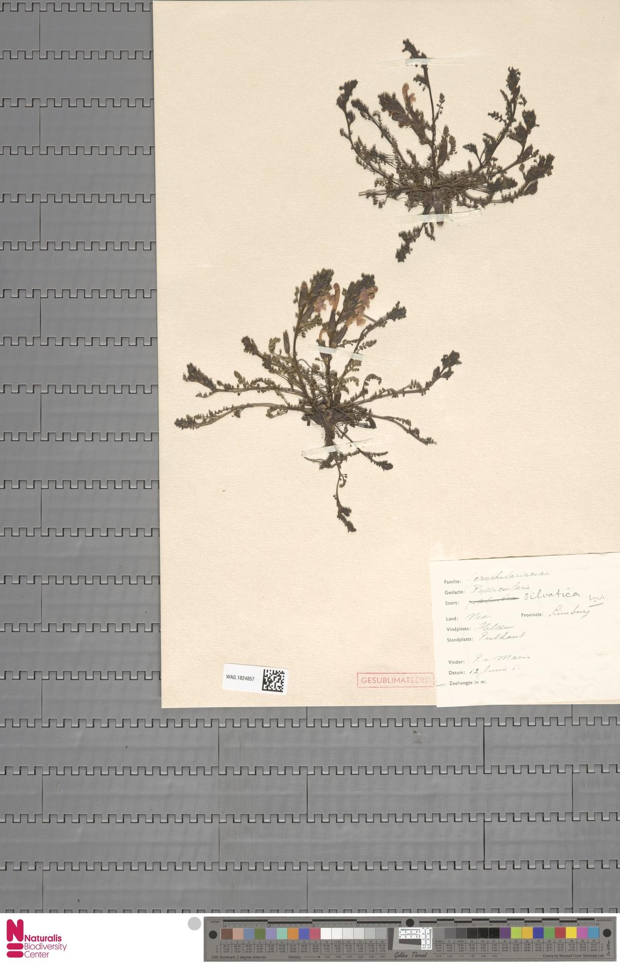 WAG.1824857 | Pedicularis sylvatica L.