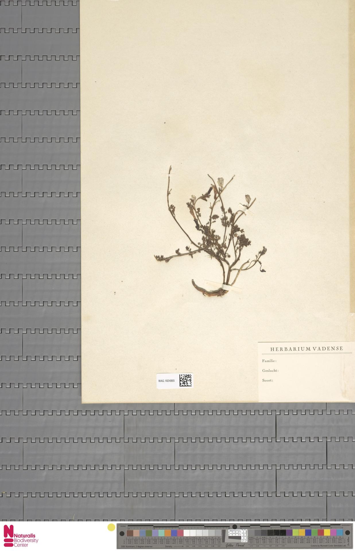 WAG.1824865   Pedicularis sylvatica L.