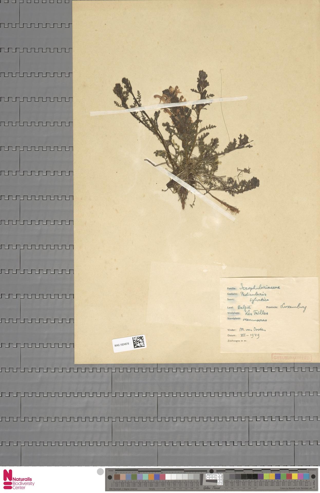 WAG.1824878 | Pedicularis sylvatica L.