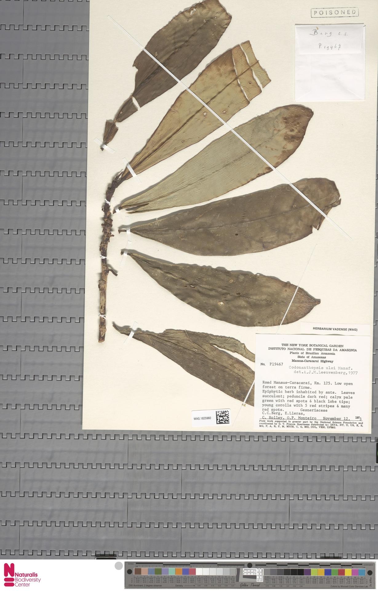 WAG.1825960 | Codonanthopsis ulei Mansf.