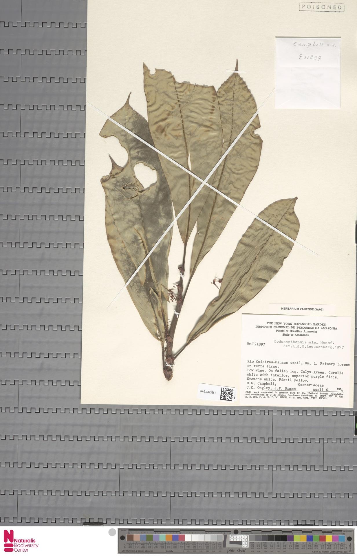 WAG.1825961 | Codonanthopsis ulei Mansf.