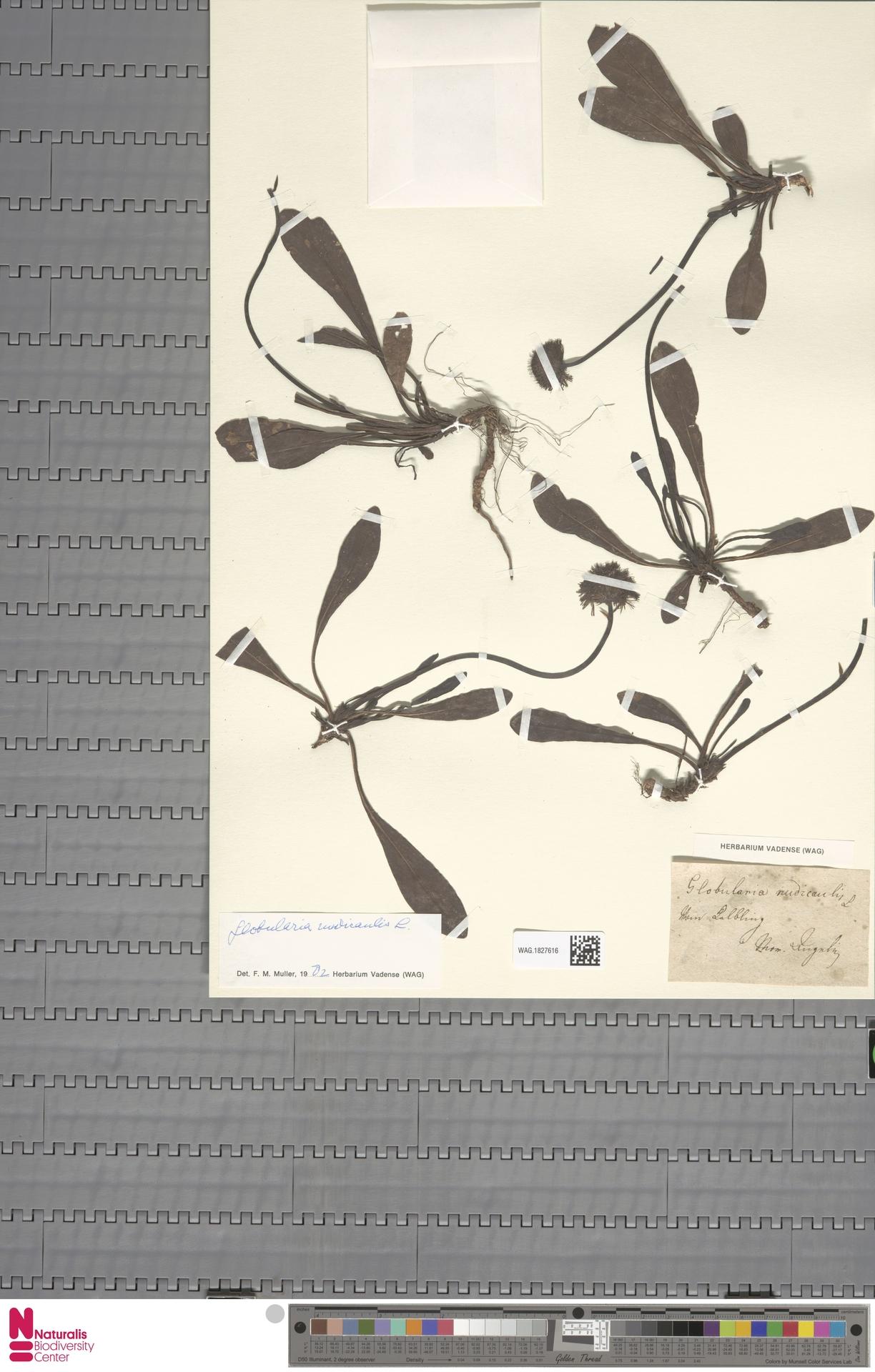 WAG.1827616   Globularia nudicaulis L.