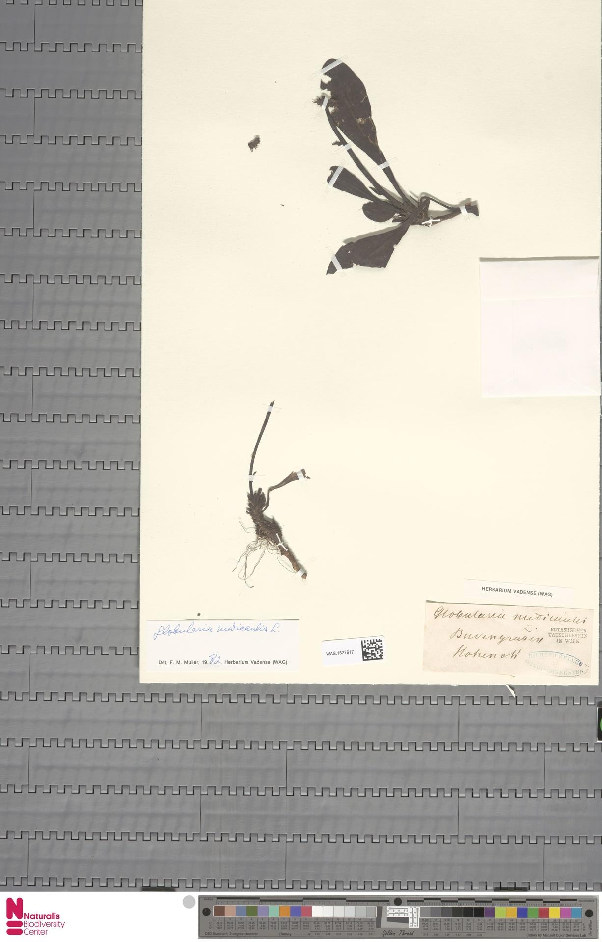 WAG.1827617 | Globularia nudicaulis L.