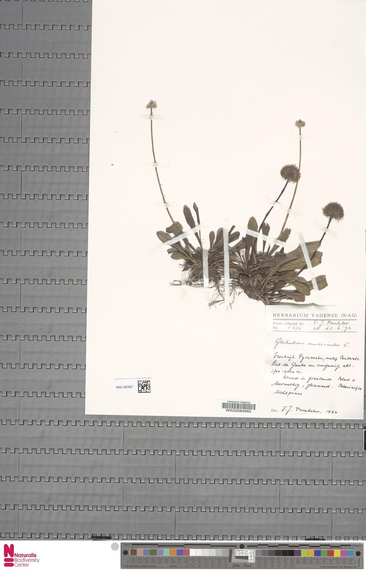 WAG.1827627 | Globularia nudicaulis L.
