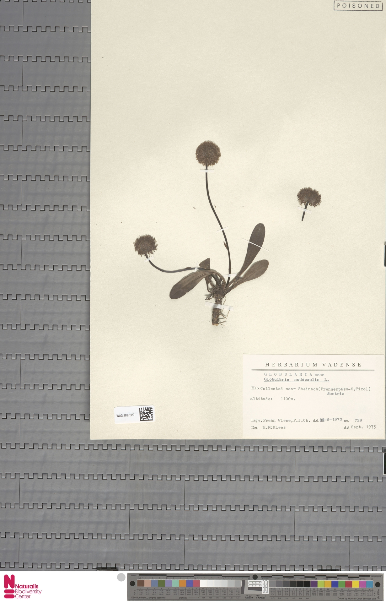 WAG.1827629 | Globularia nudicaulis L.