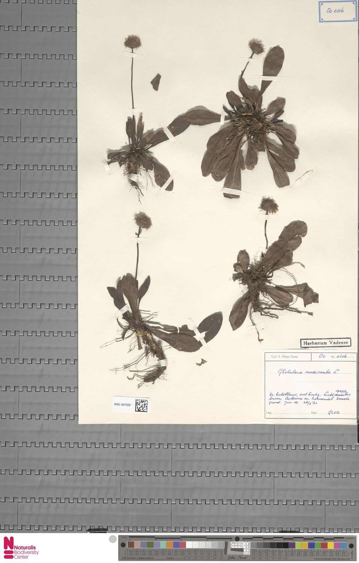 WAG.1827630 | Globularia nudicaulis L.