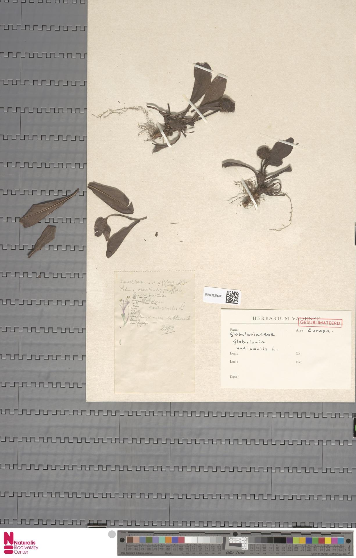 WAG.1827632 | Globularia nudicaulis L.