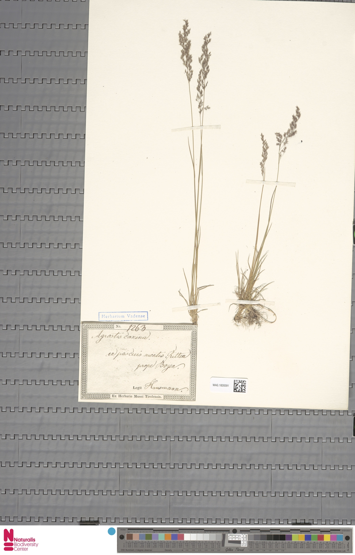 WAG.1828391 | Agrostis canina L.