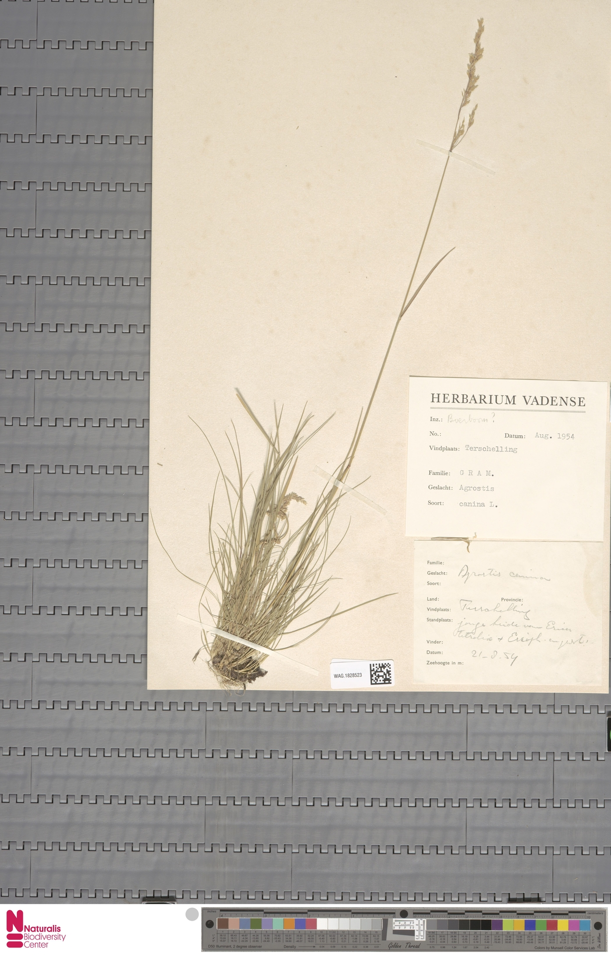 WAG.1828523 | Agrostis canina L.