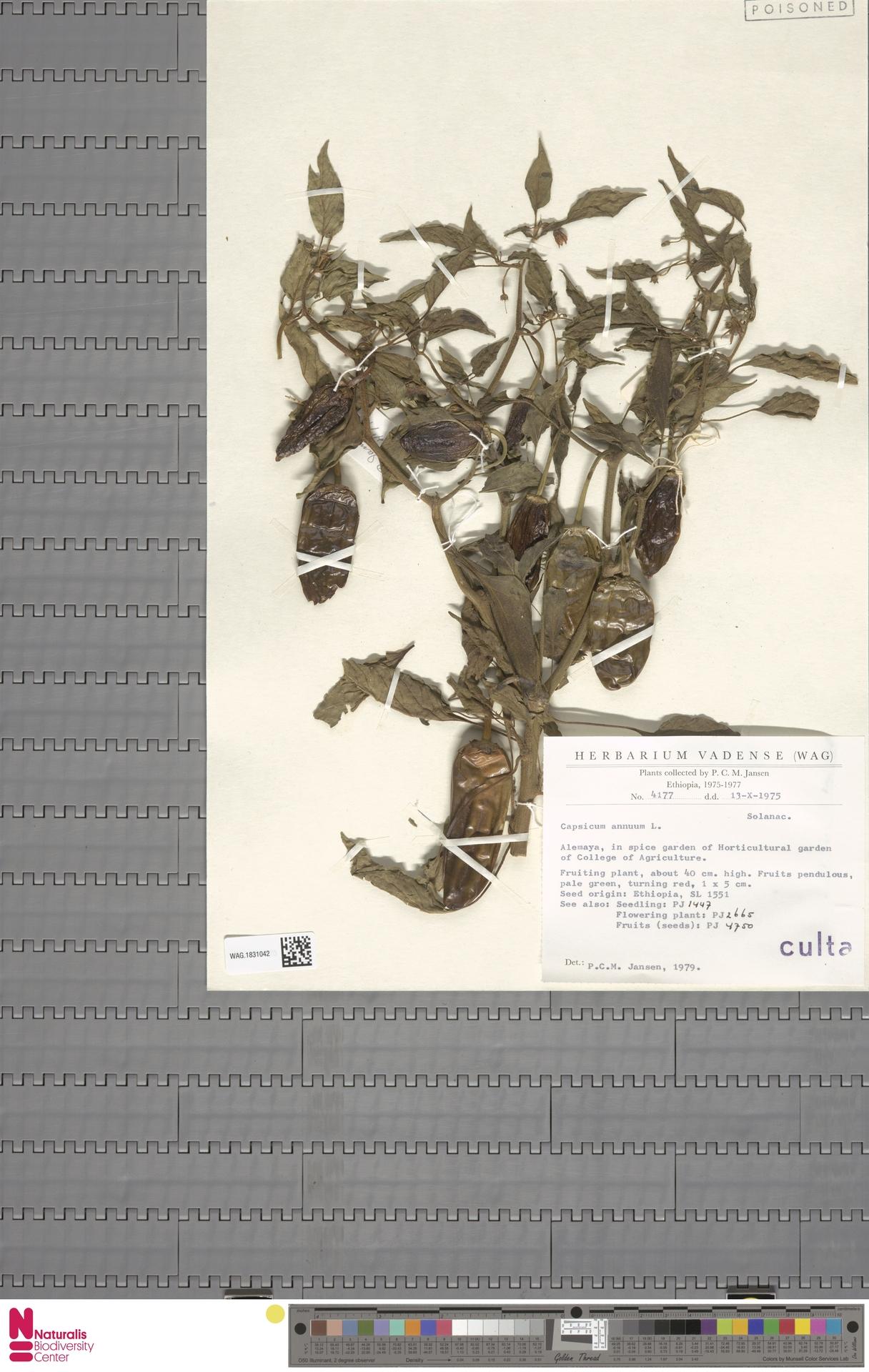 WAG.1831042 | Capsicum annuum L.