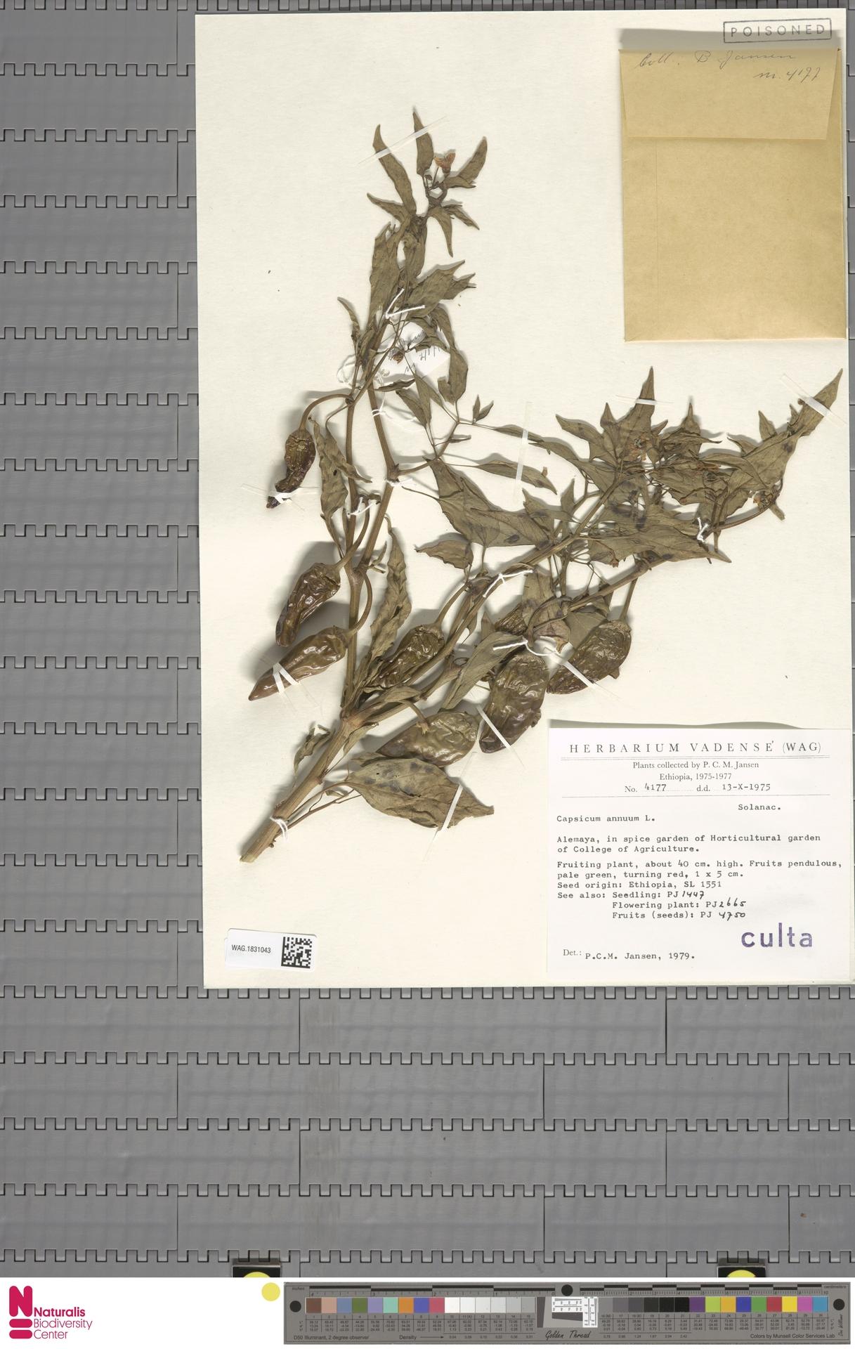 WAG.1831043   Capsicum annuum L.