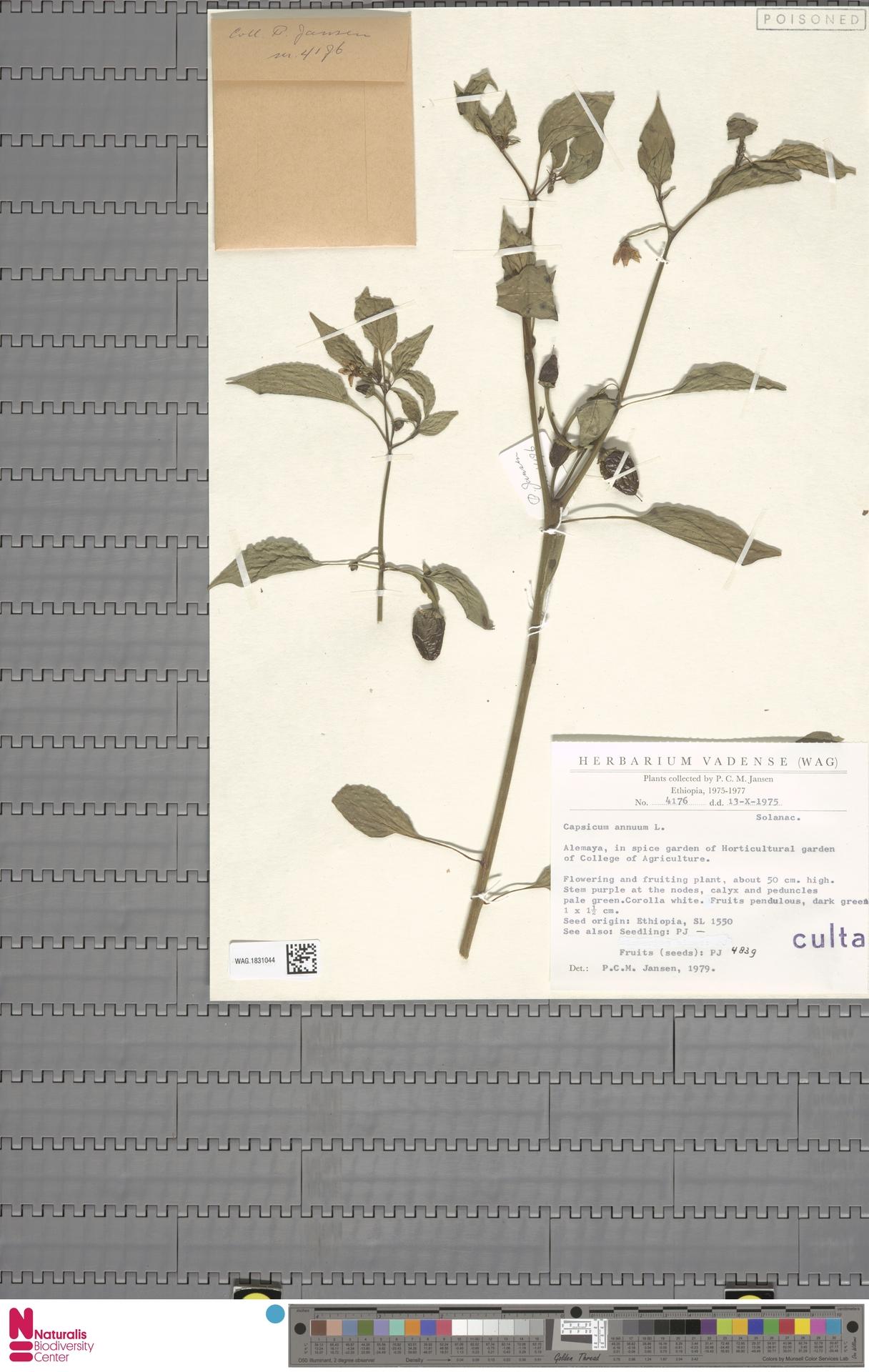 WAG.1831044 | Capsicum annuum L.