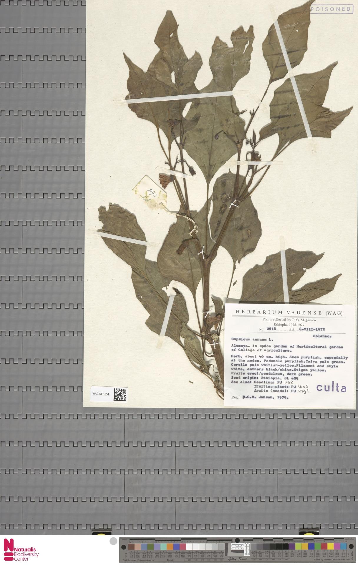 WAG.1831054 | Capsicum annuum L.