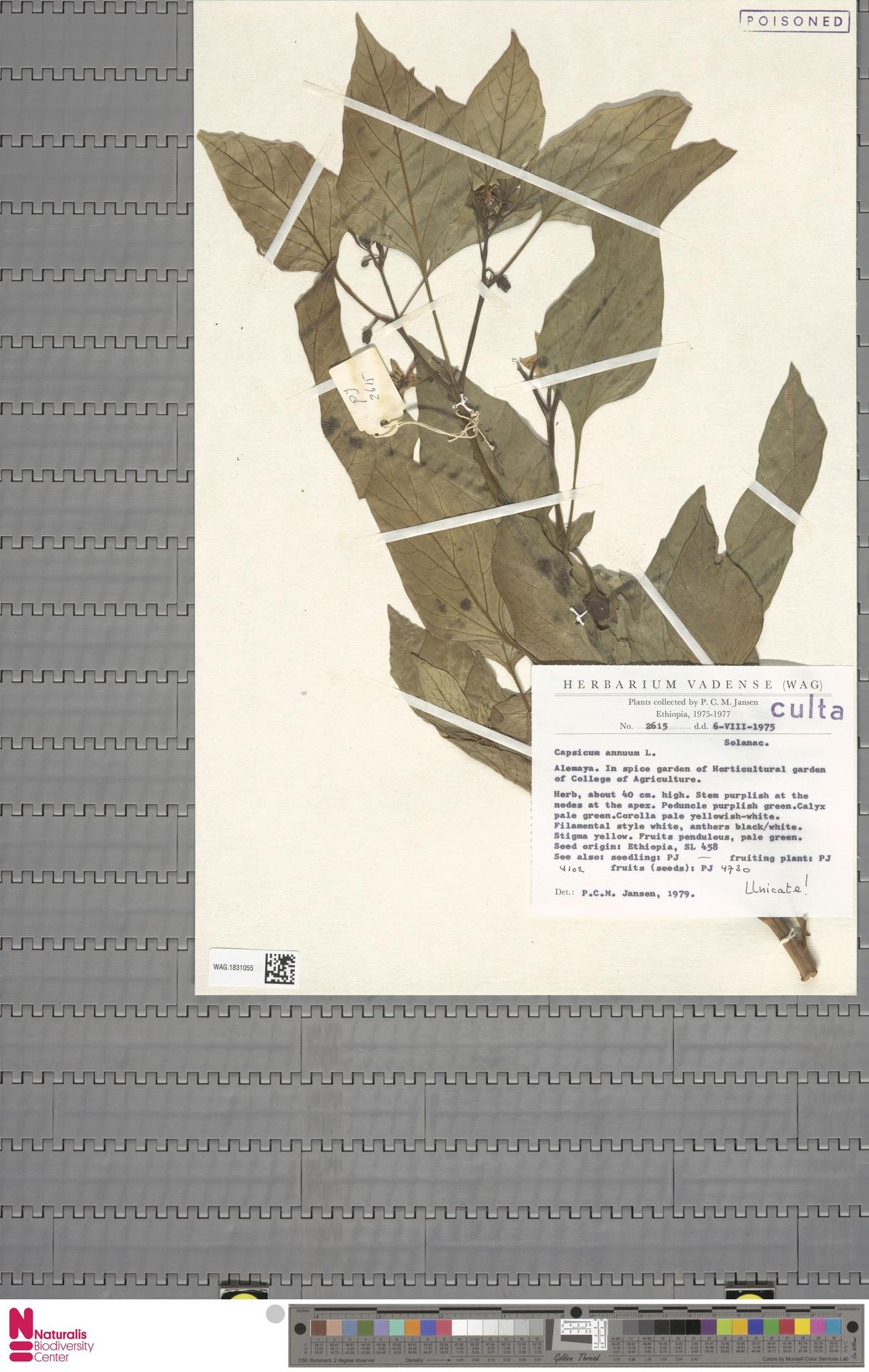 WAG.1831055 | Capsicum annuum L.