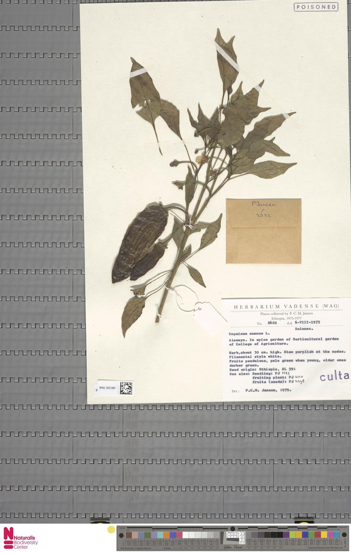 WAG.1831063 | Capsicum annuum L.