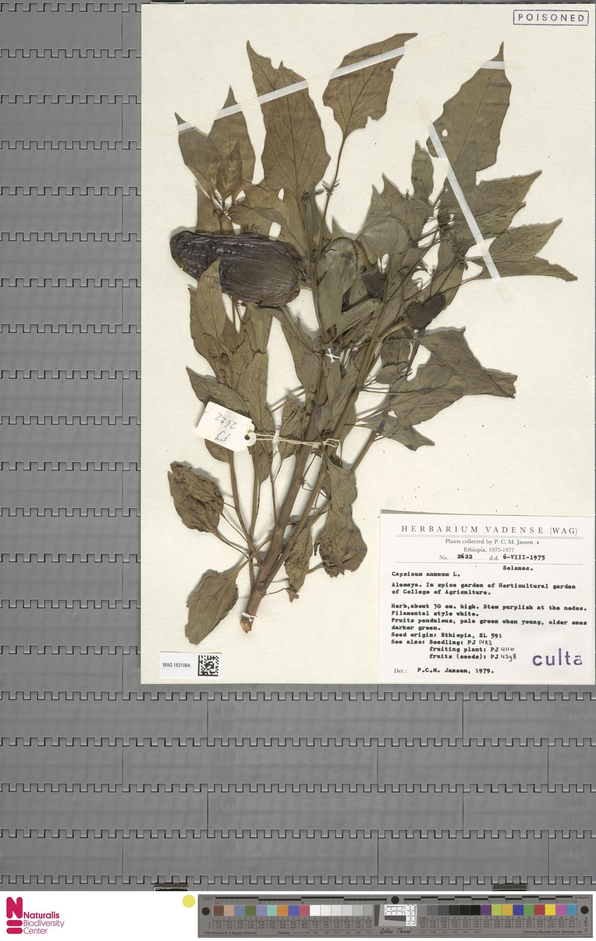 WAG.1831064 | Capsicum annuum L.