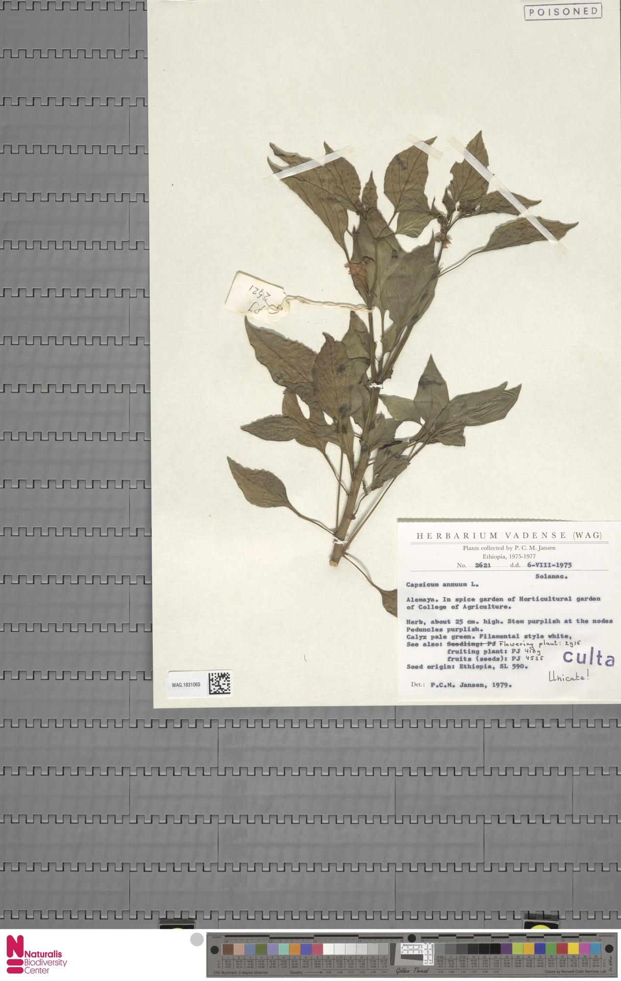 WAG.1831065 | Capsicum annuum L.