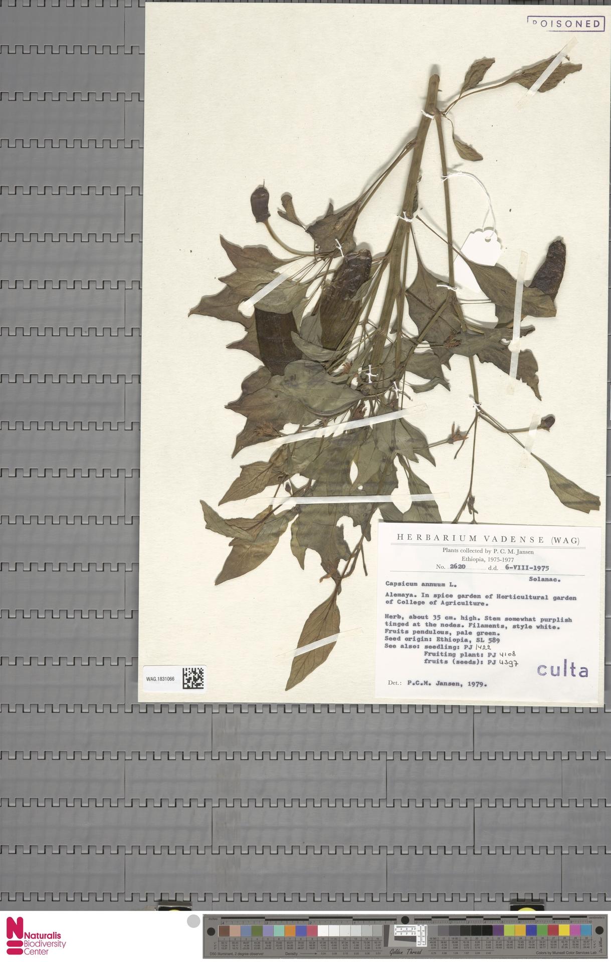 WAG.1831066 | Capsicum annuum L.