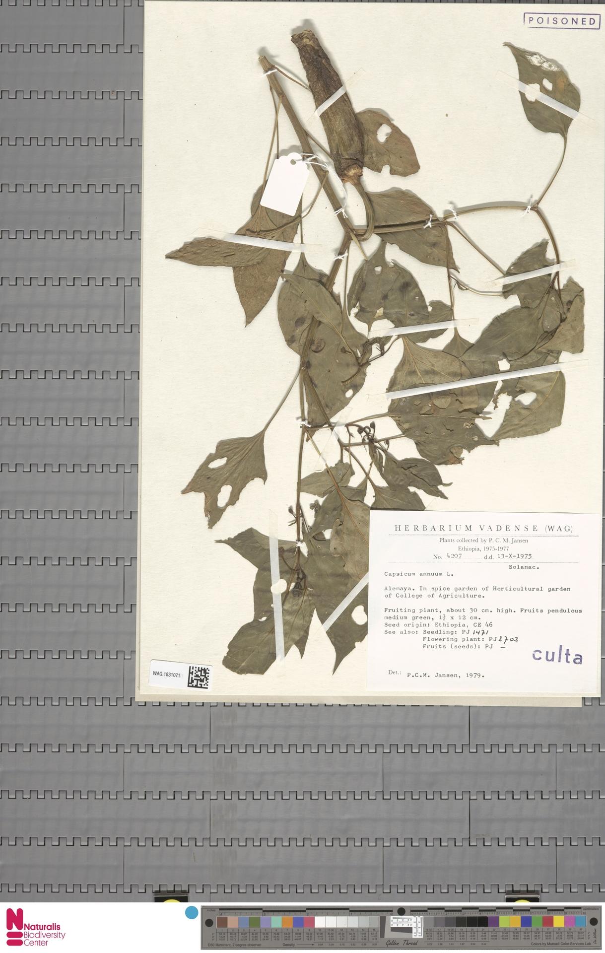 WAG.1831071 | Capsicum annuum L.