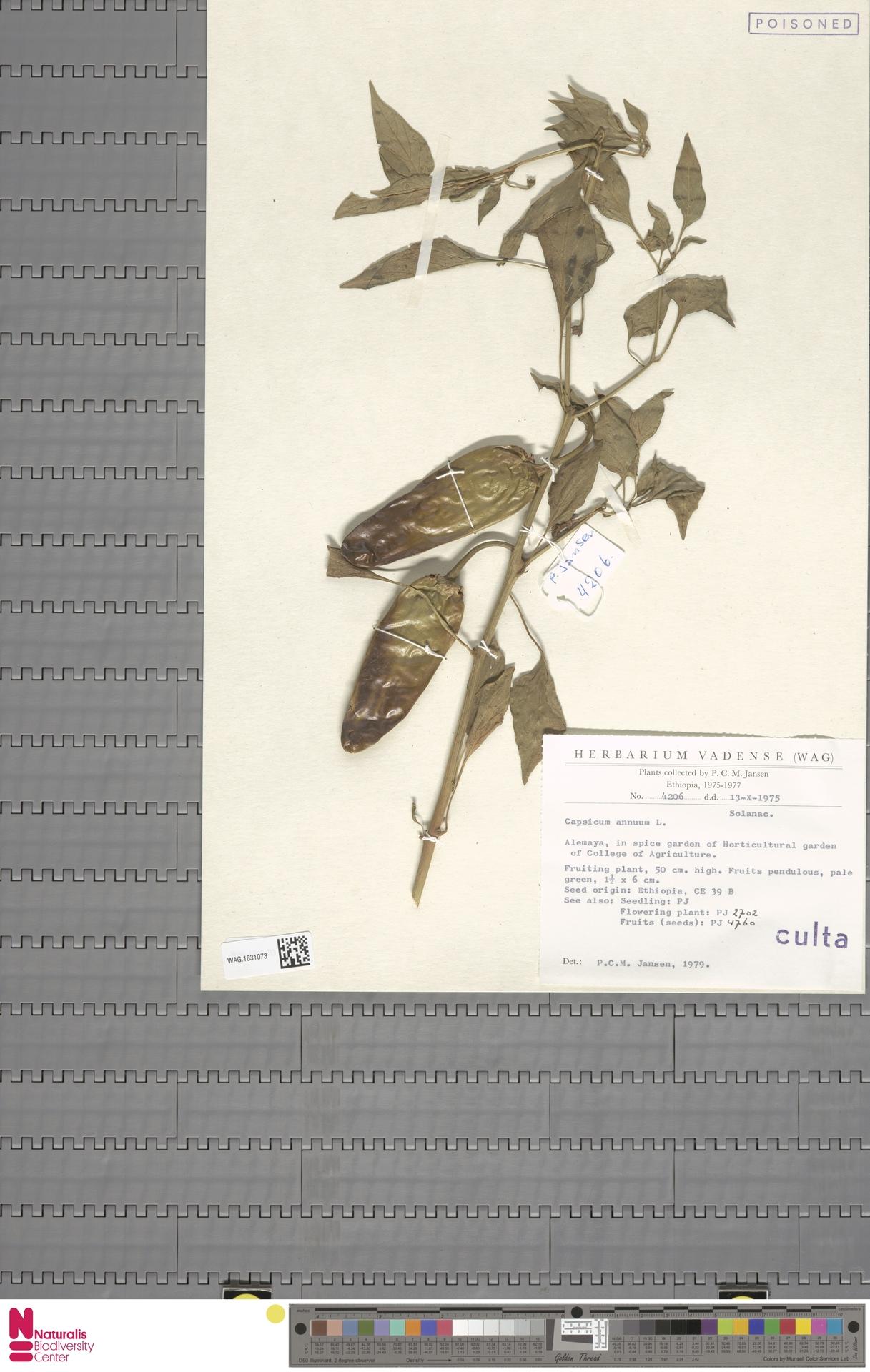 WAG.1831073 | Capsicum annuum L.