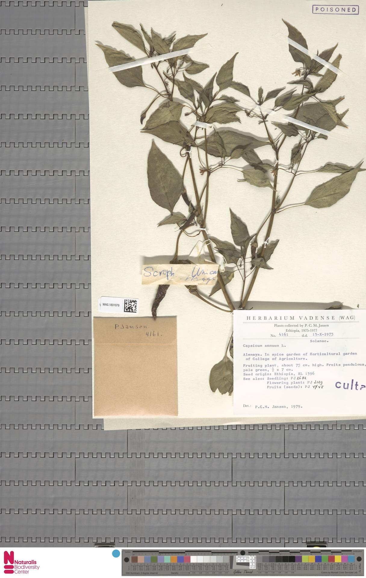 WAG.1831079 | Capsicum annuum L.