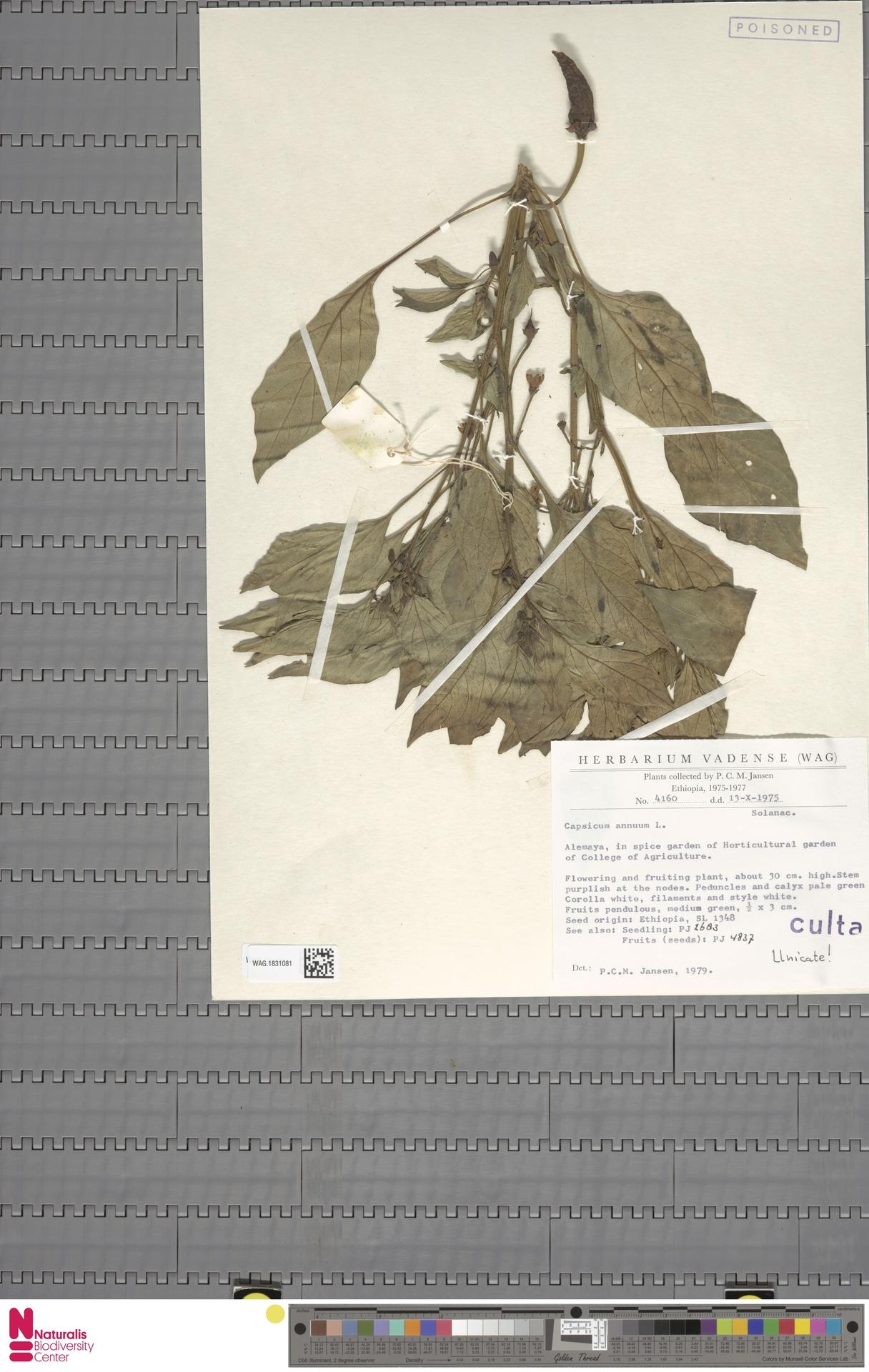 WAG.1831081 | Capsicum annuum L.