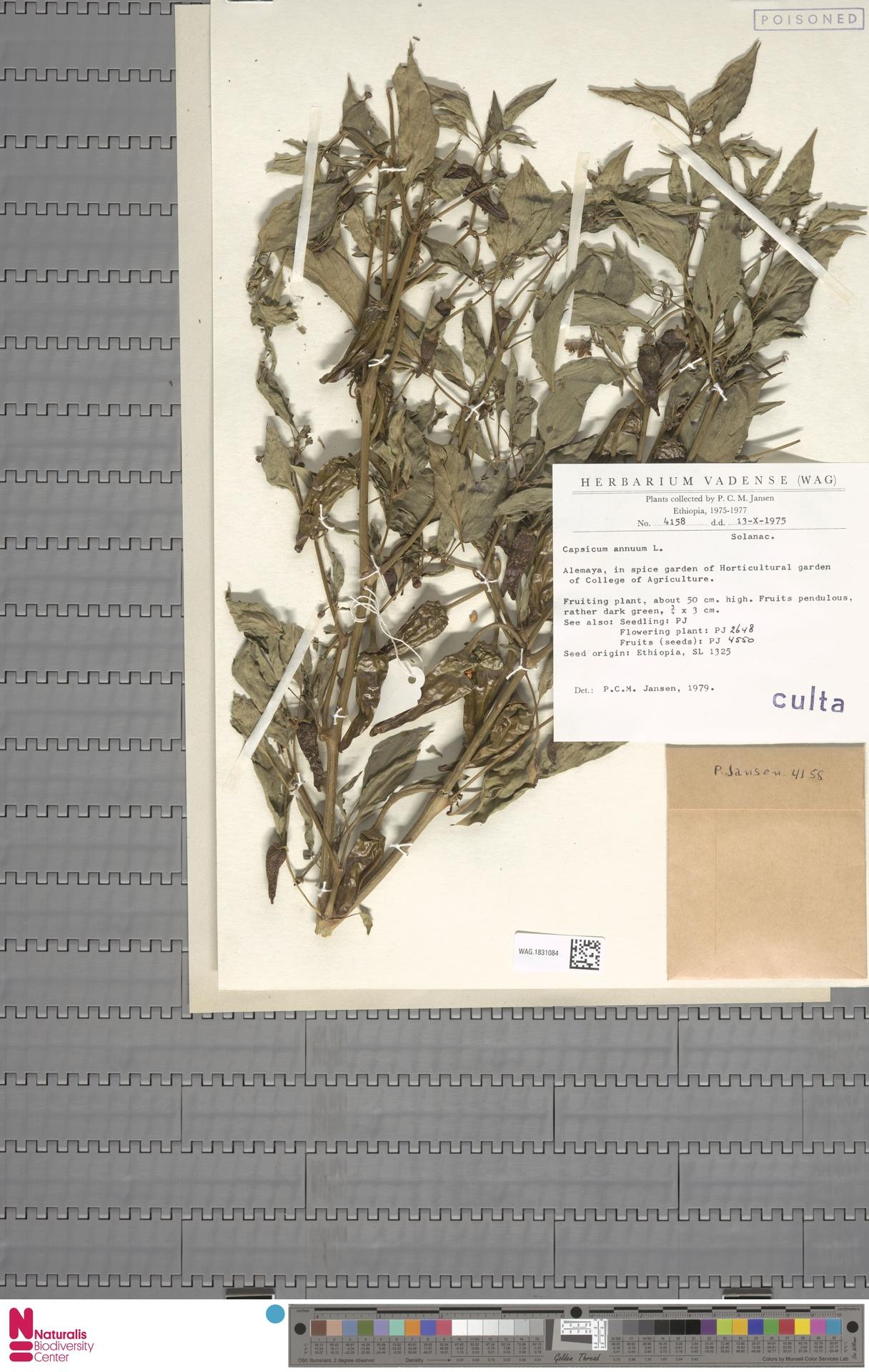 WAG.1831084 | Capsicum annuum L.