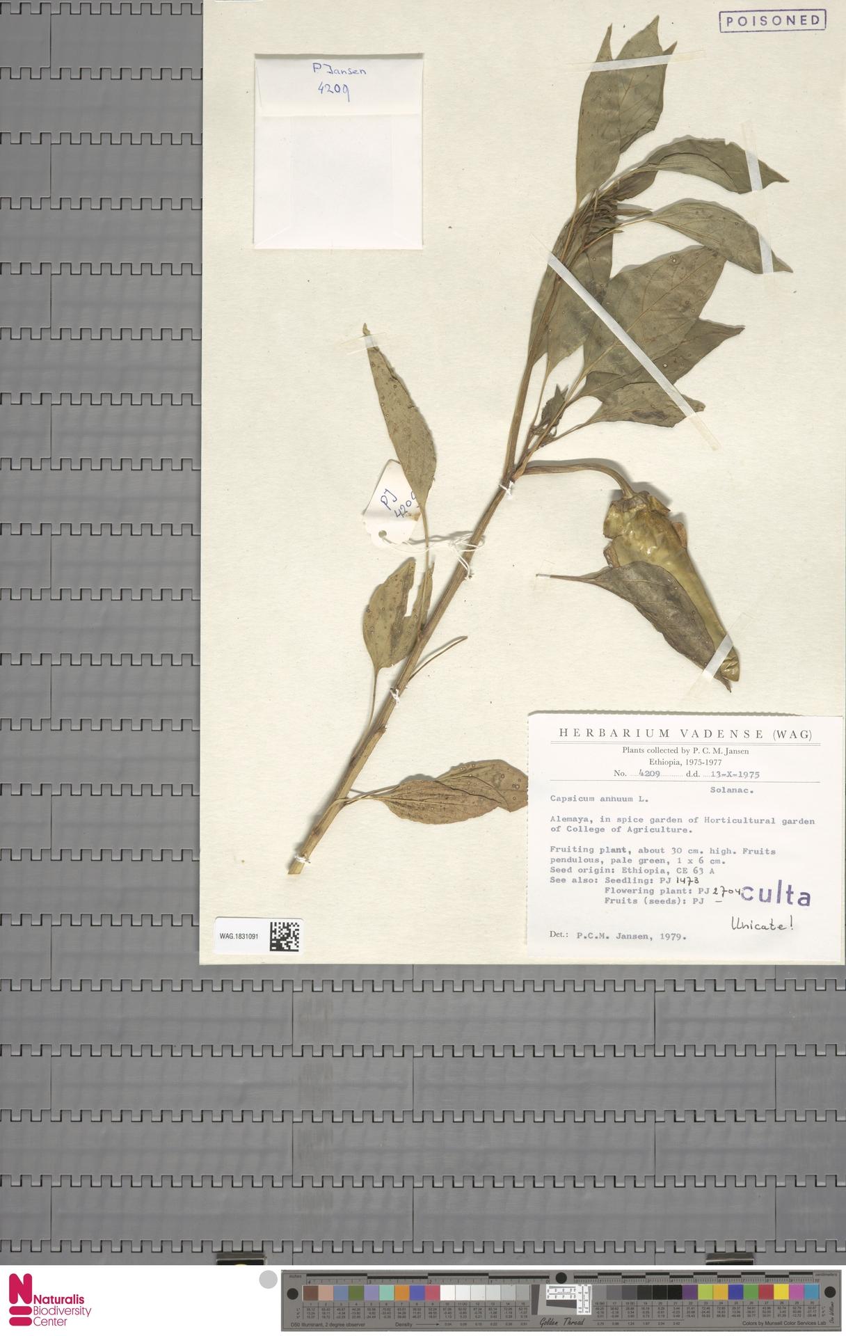 WAG.1831091 | Capsicum annuum L.