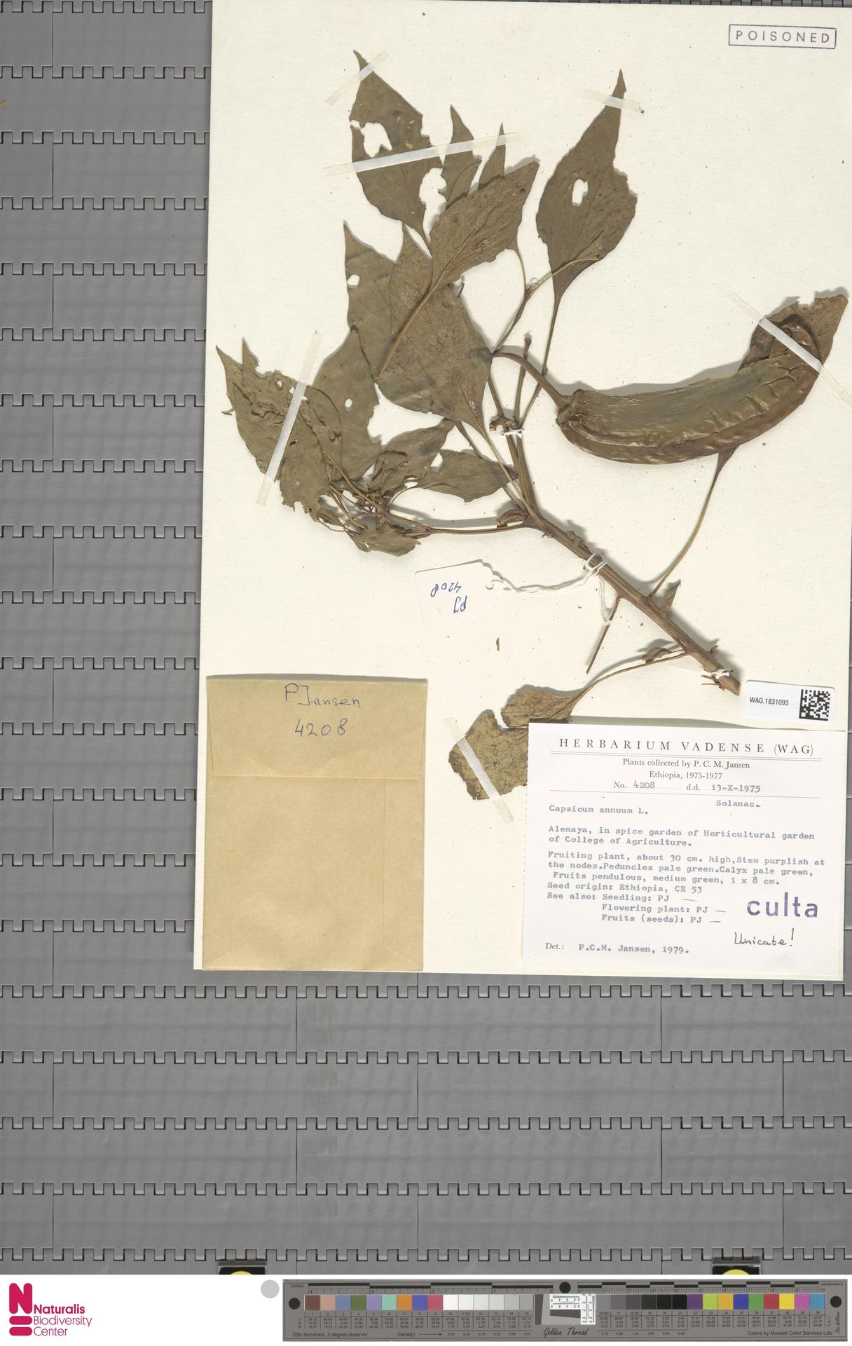WAG.1831093 | Capsicum annuum L.
