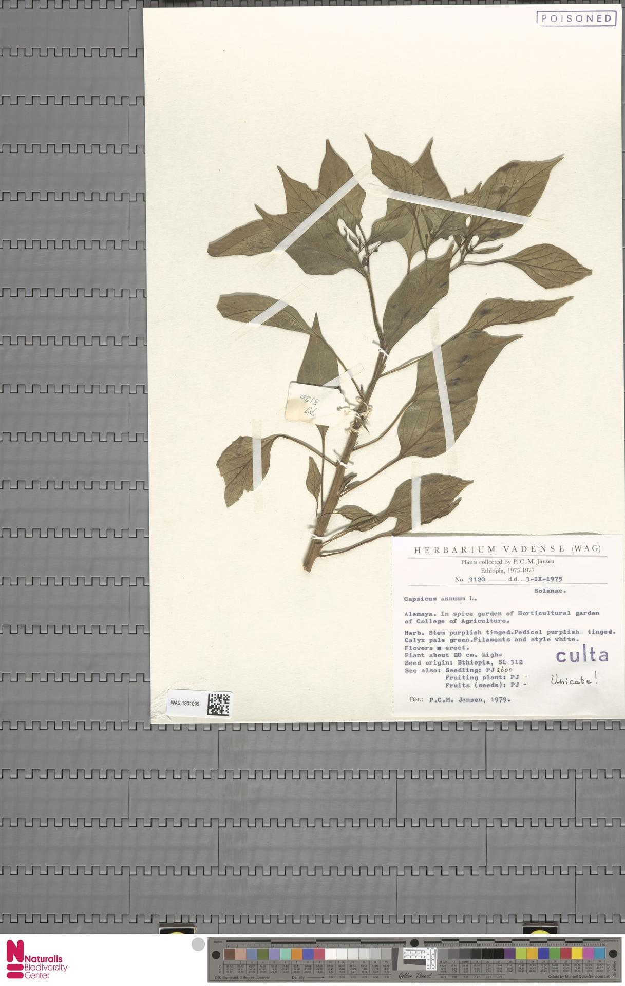 WAG.1831095   Capsicum annuum L.