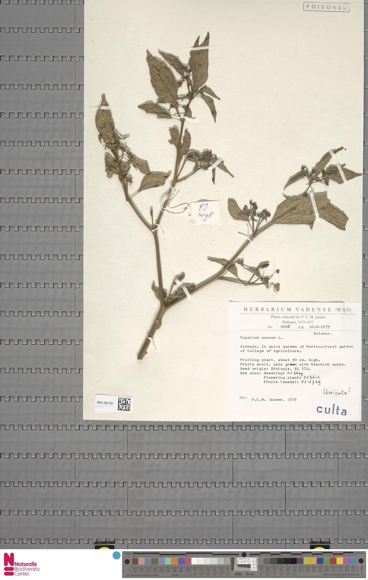 WAG.1831107 | Capsicum annuum L.