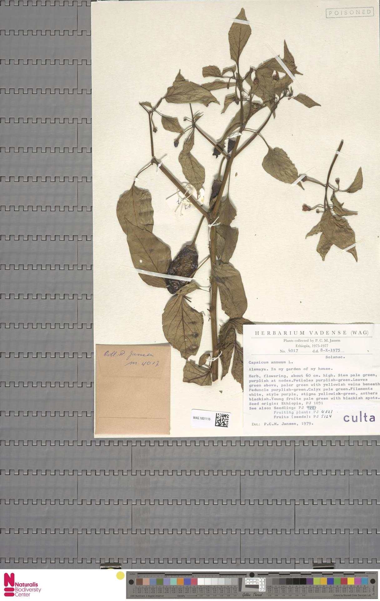 WAG.1831115 | Capsicum annuum L.