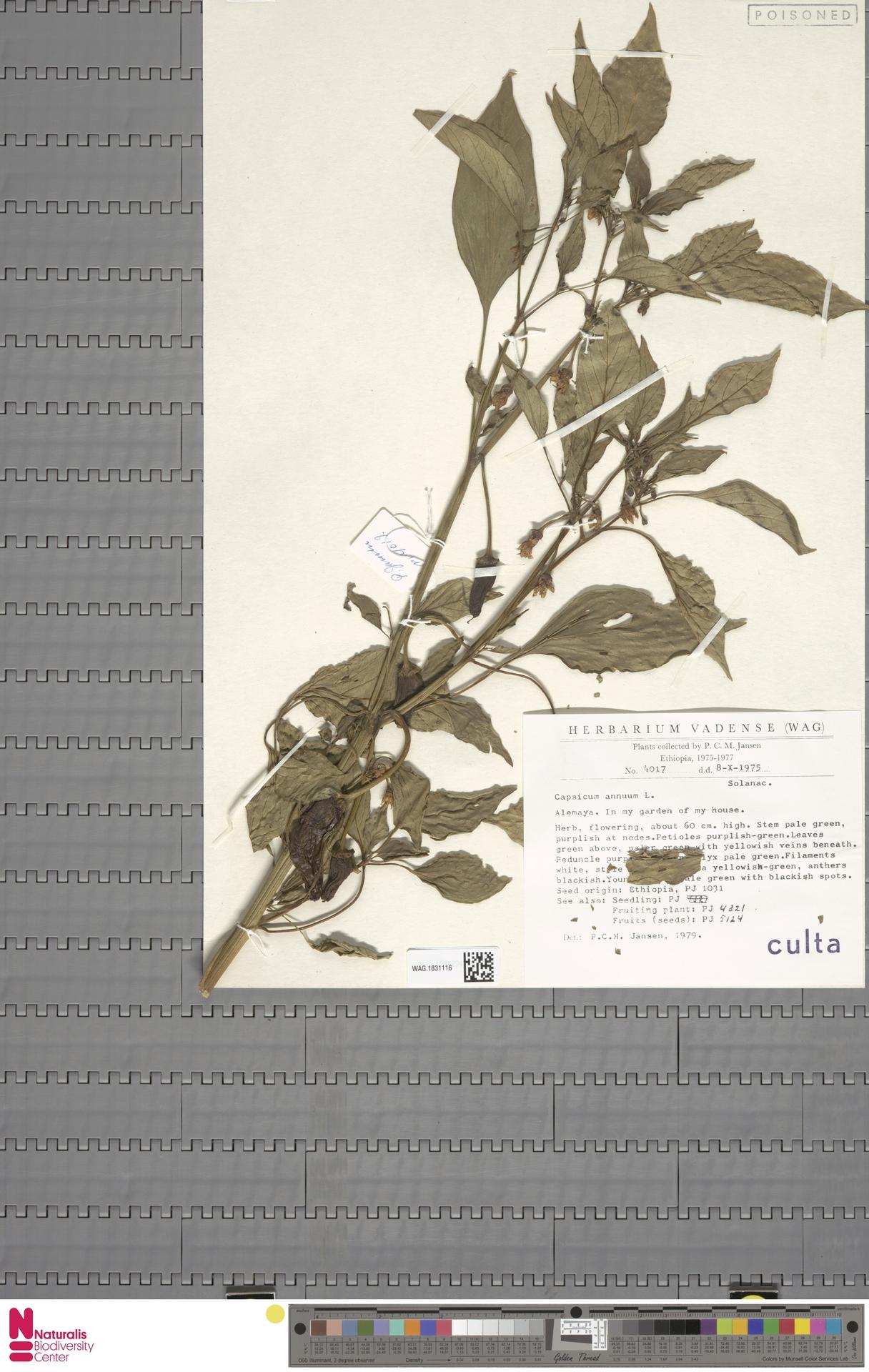 WAG.1831116 | Capsicum annuum L.