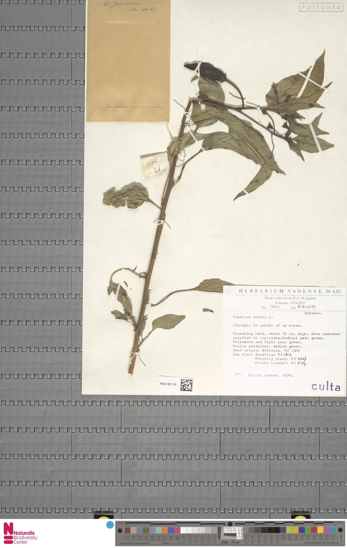 WAG.1831118 | Capsicum annuum L.