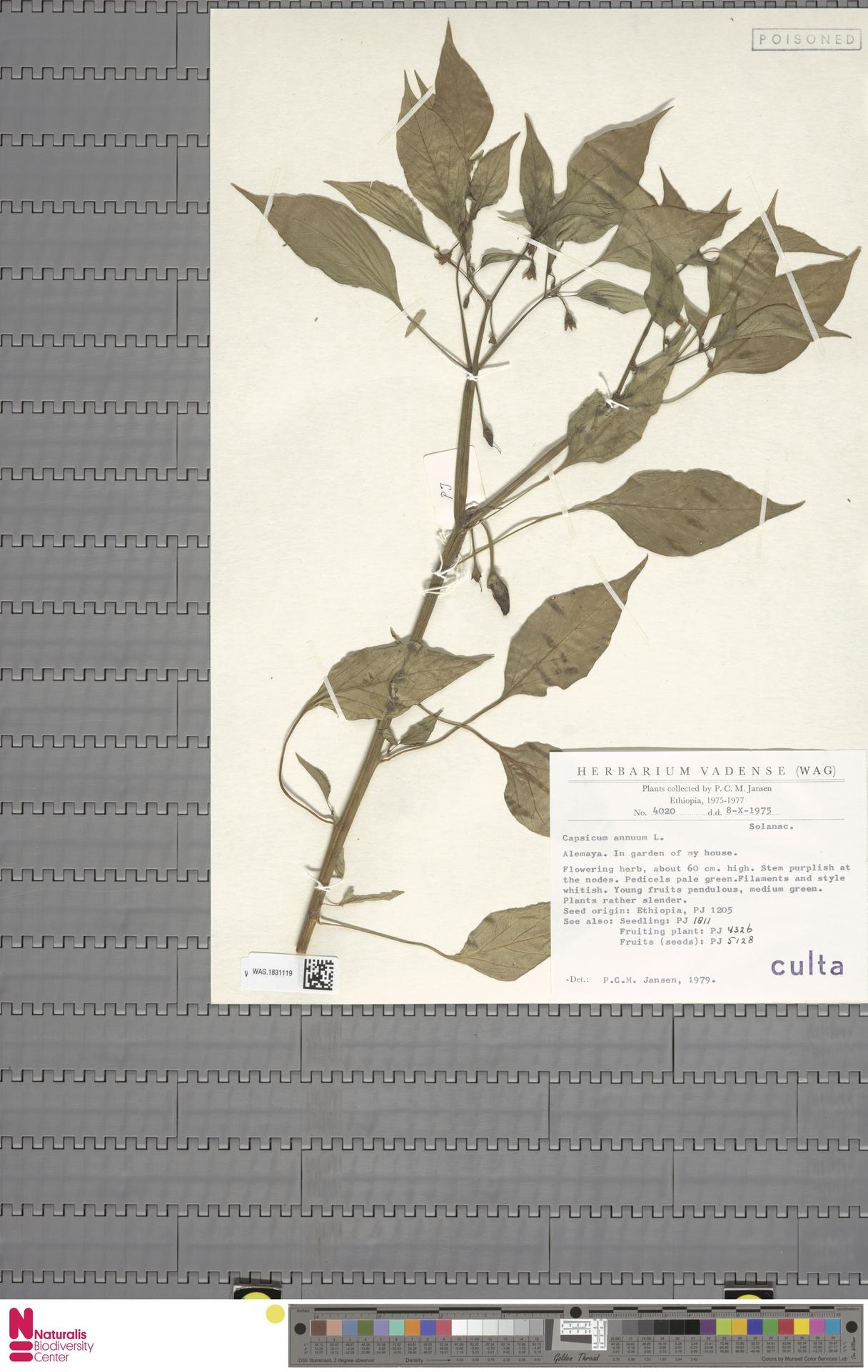 WAG.1831119 | Capsicum annuum L.