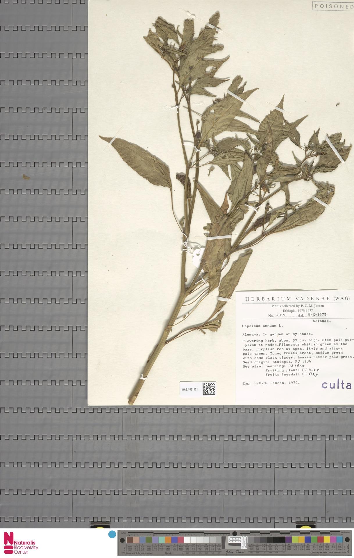 WAG.1831121 | Capsicum annuum L.