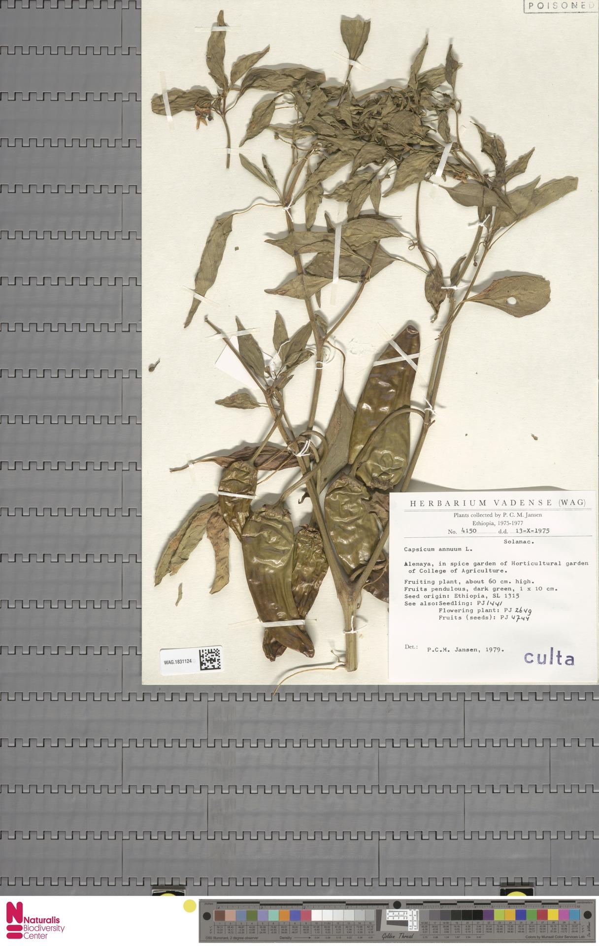 WAG.1831124 | Capsicum annuum L.