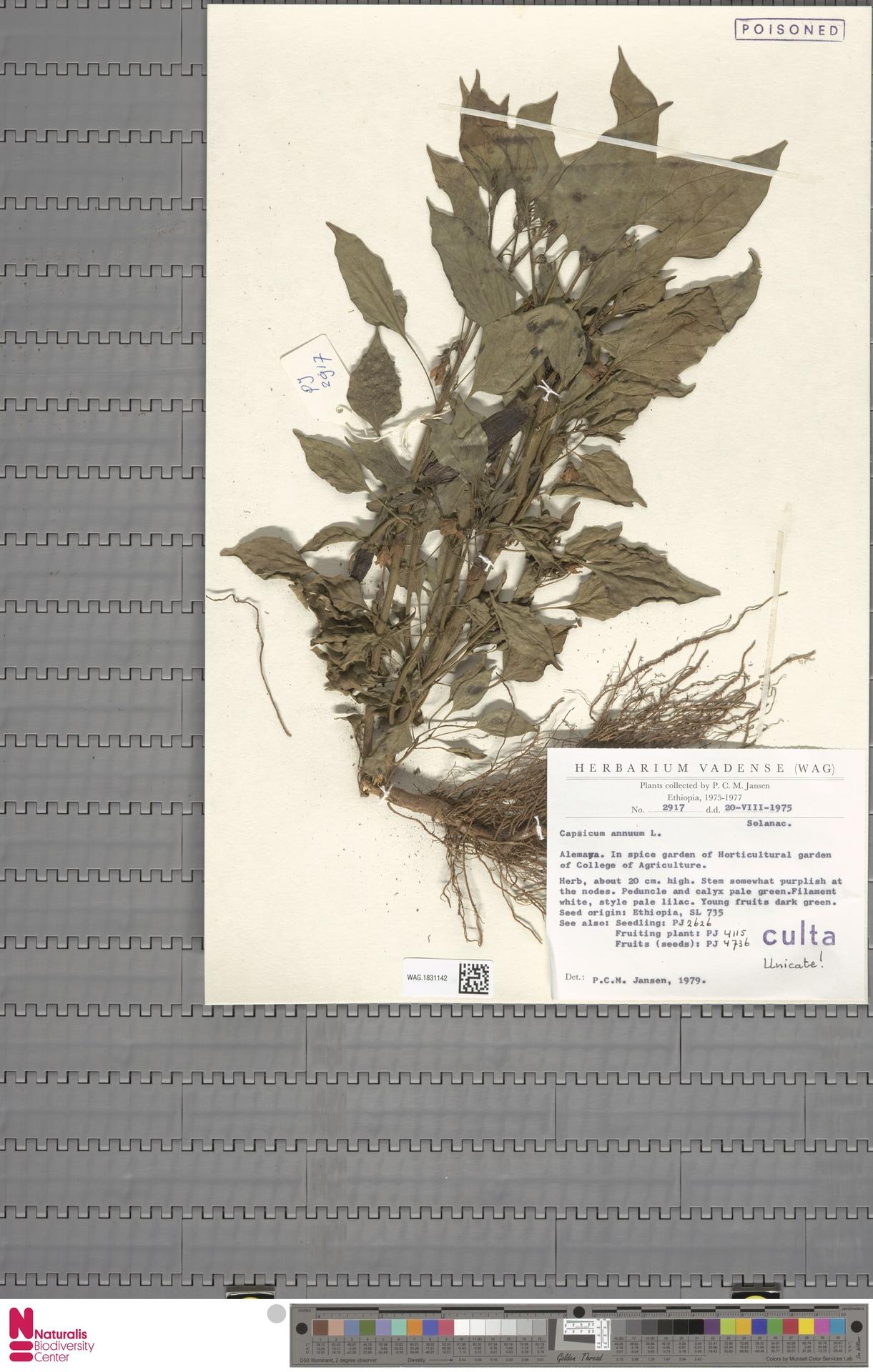 WAG.1831142 | Capsicum annuum L.