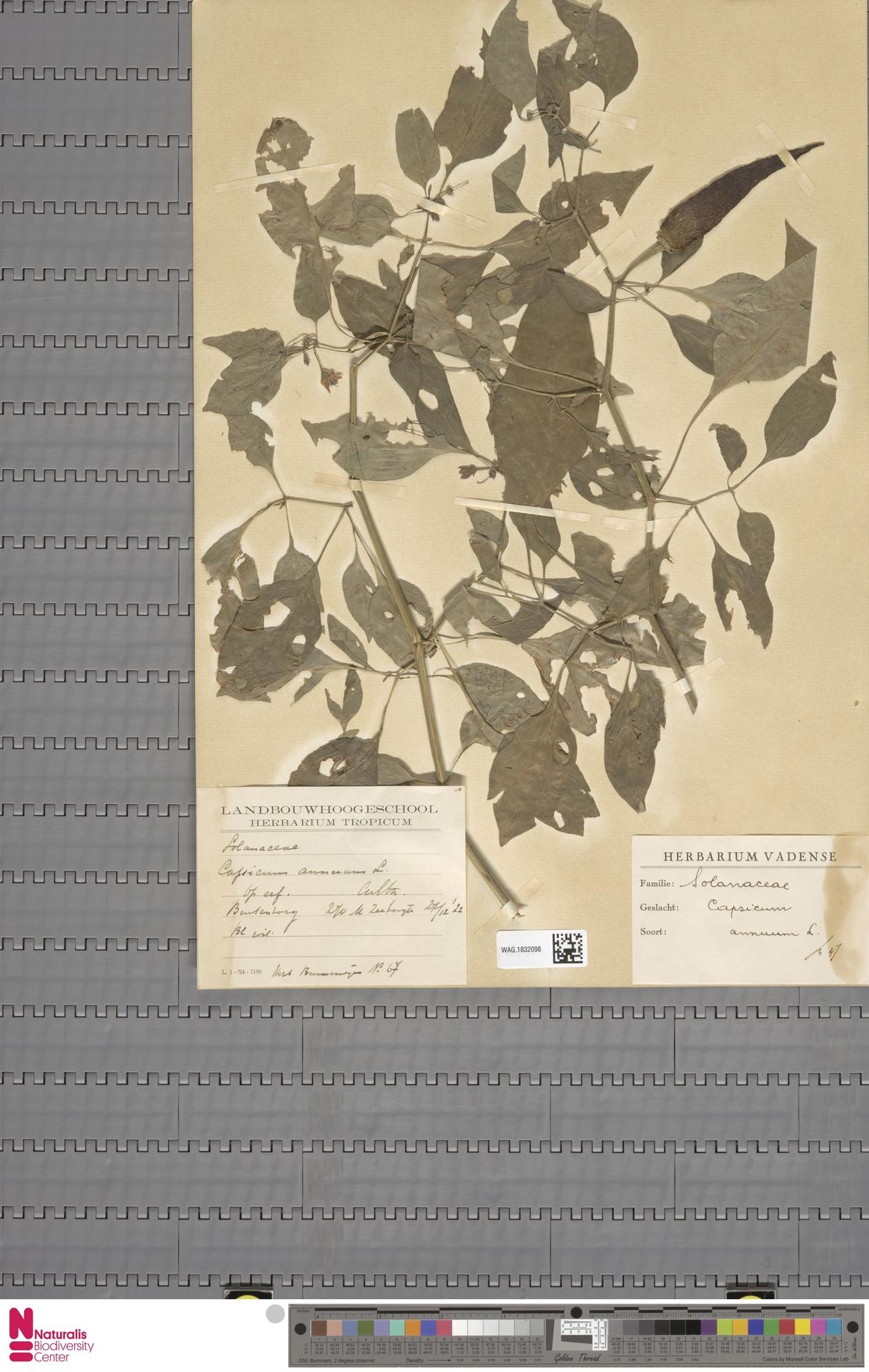 WAG.1832098   Capsicum annuum L.