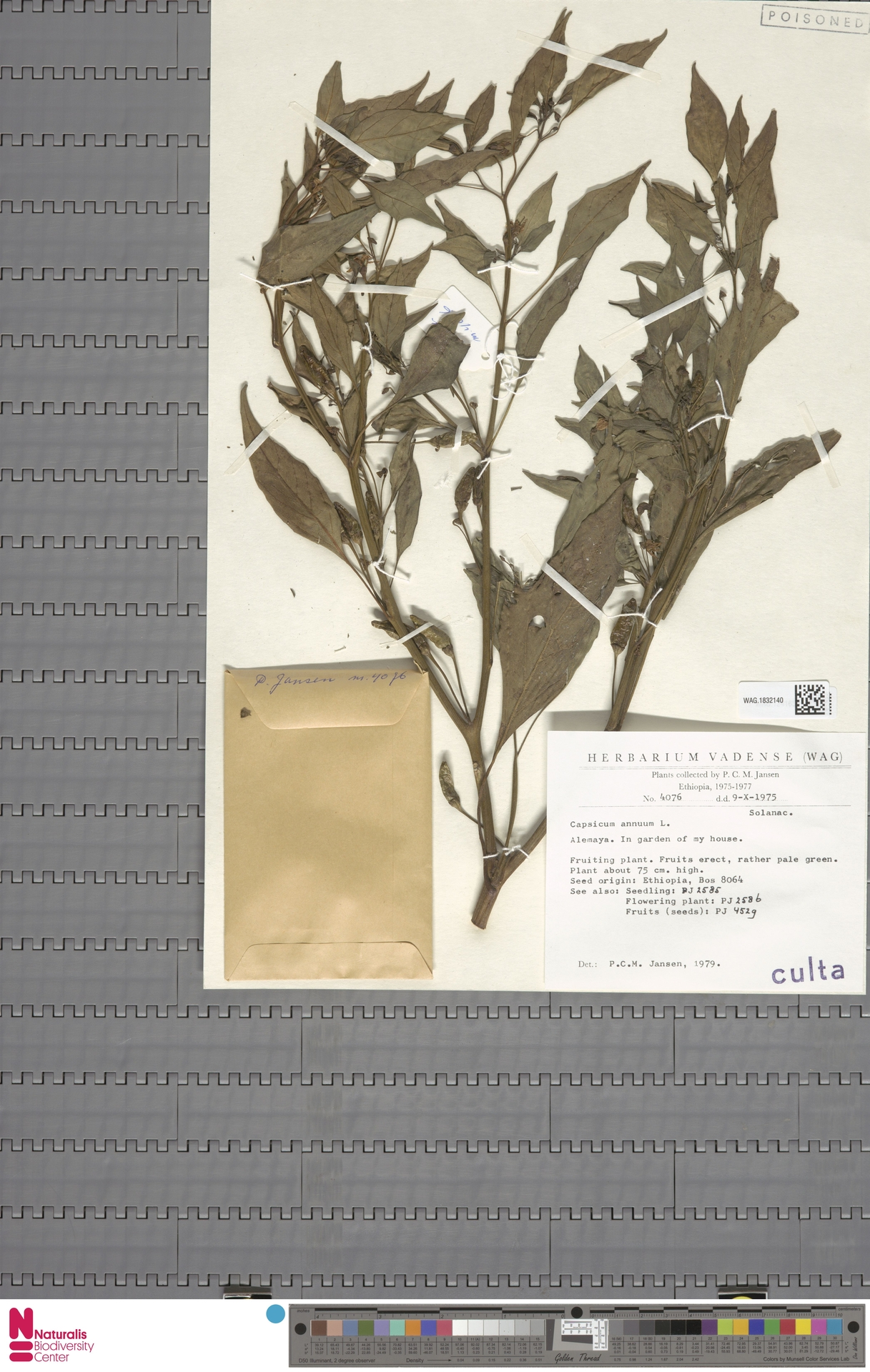 WAG.1832140 | Capsicum annuum L.