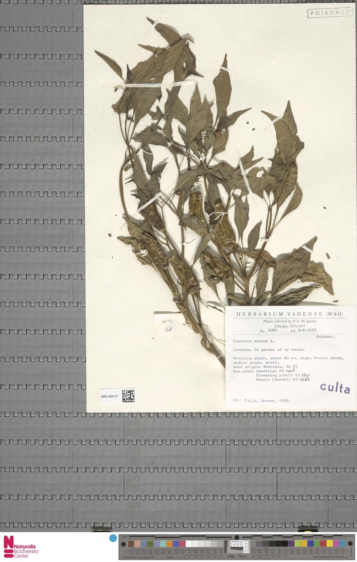WAG.1832147 | Capsicum annuum L.