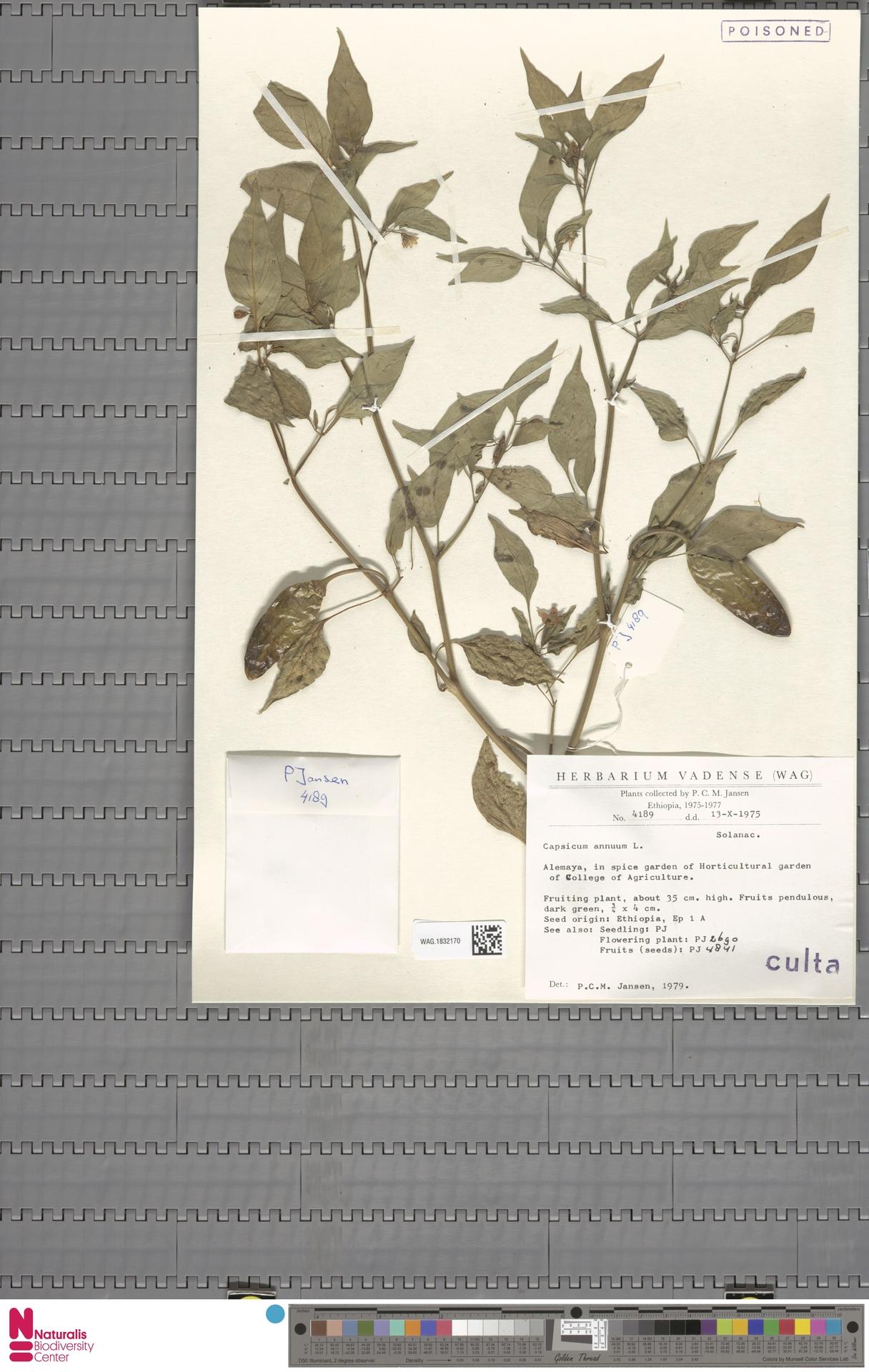 WAG.1832170   Capsicum annuum L.