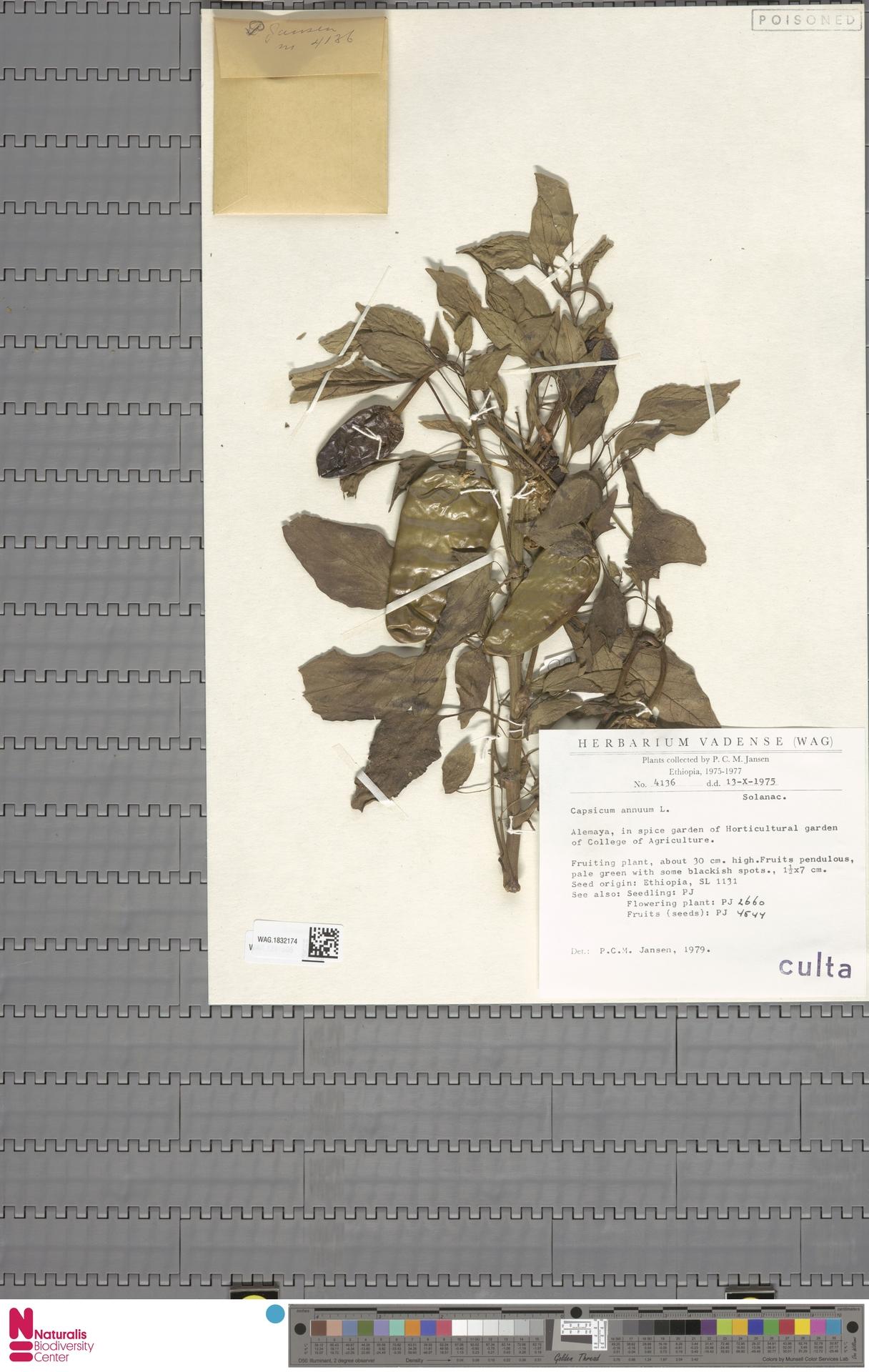 WAG.1832174 | Capsicum annuum L.
