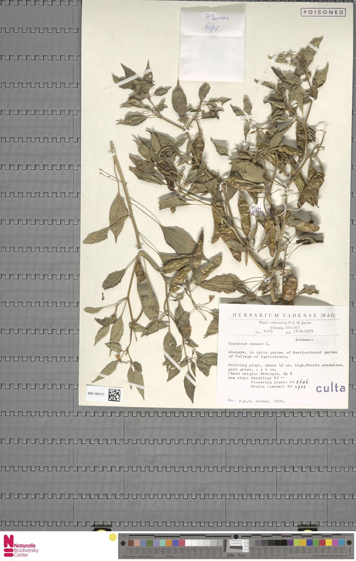 WAG.1832177 | Capsicum annuum L.