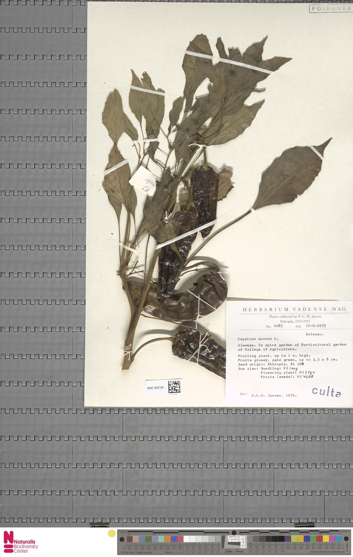WAG.1832184 | Capsicum annuum L.