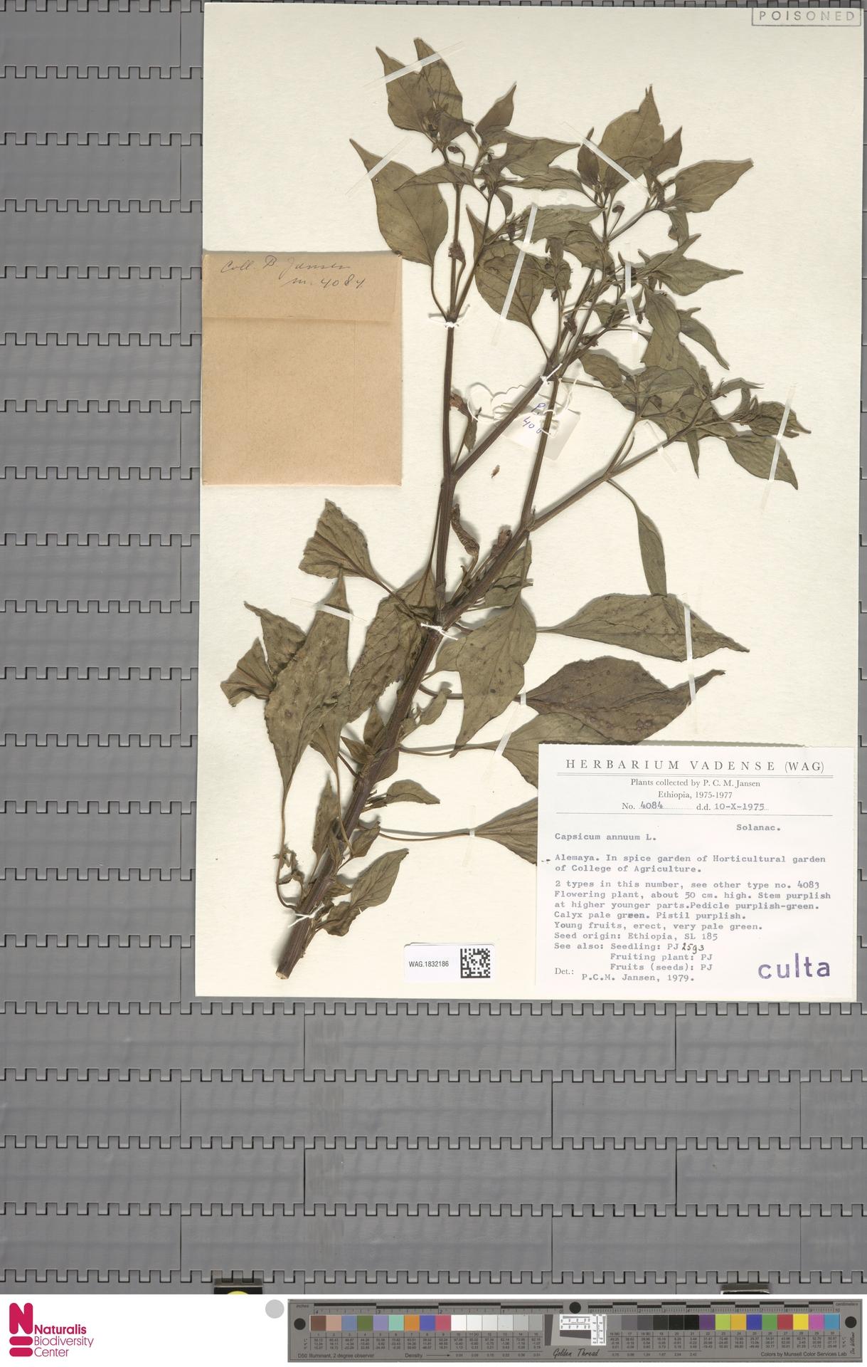 WAG.1832186 | Capsicum annuum L.