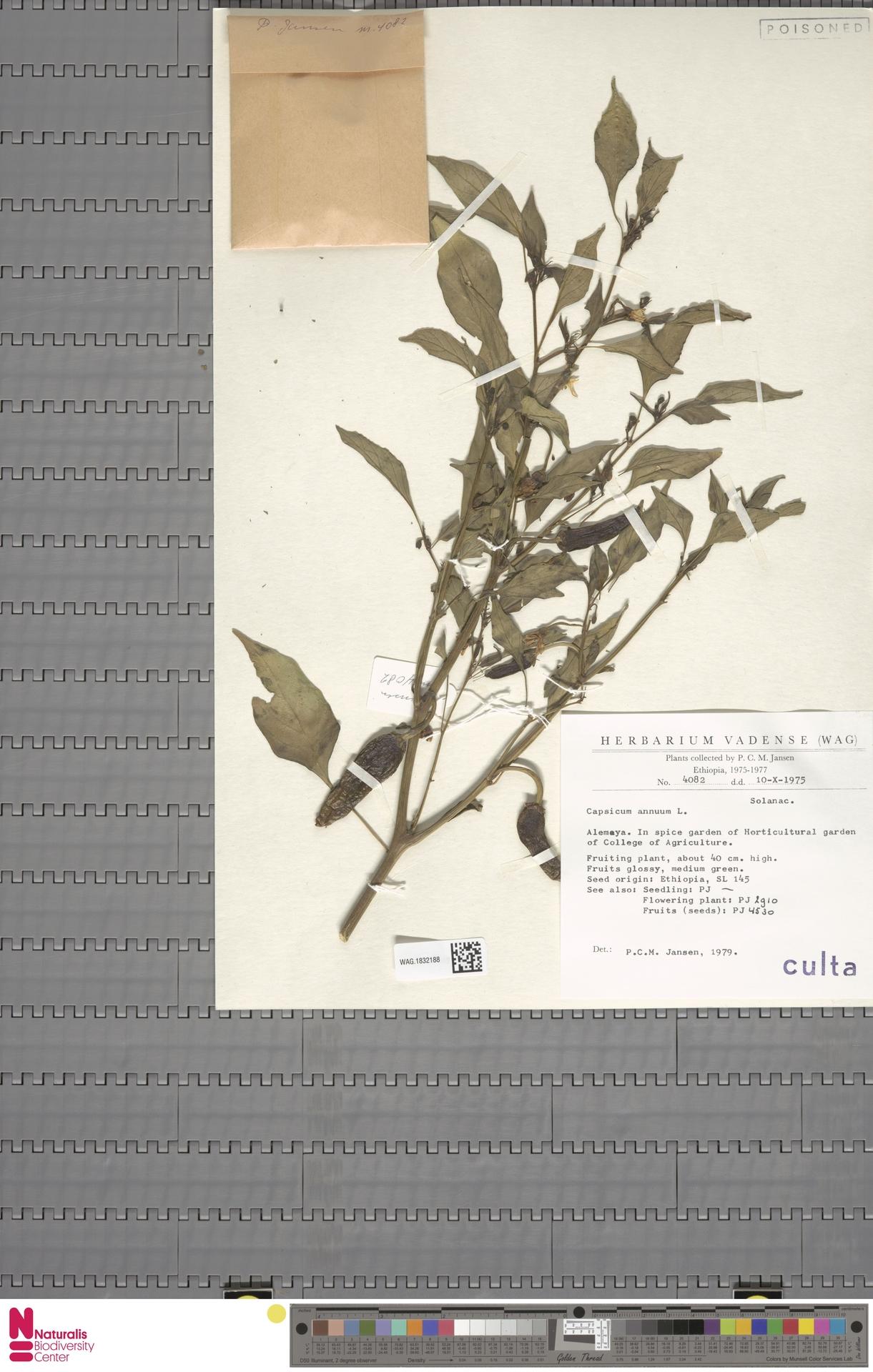 WAG.1832188 | Capsicum annuum L.