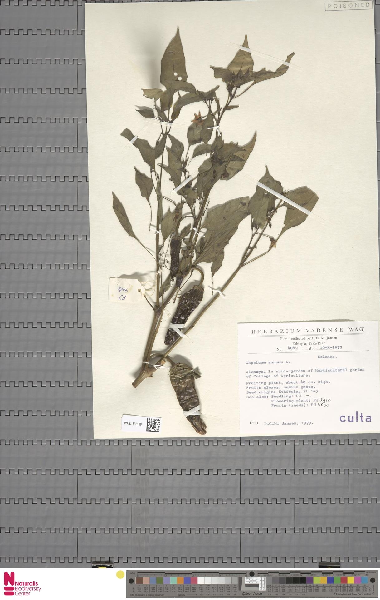 WAG.1832189 | Capsicum annuum L.
