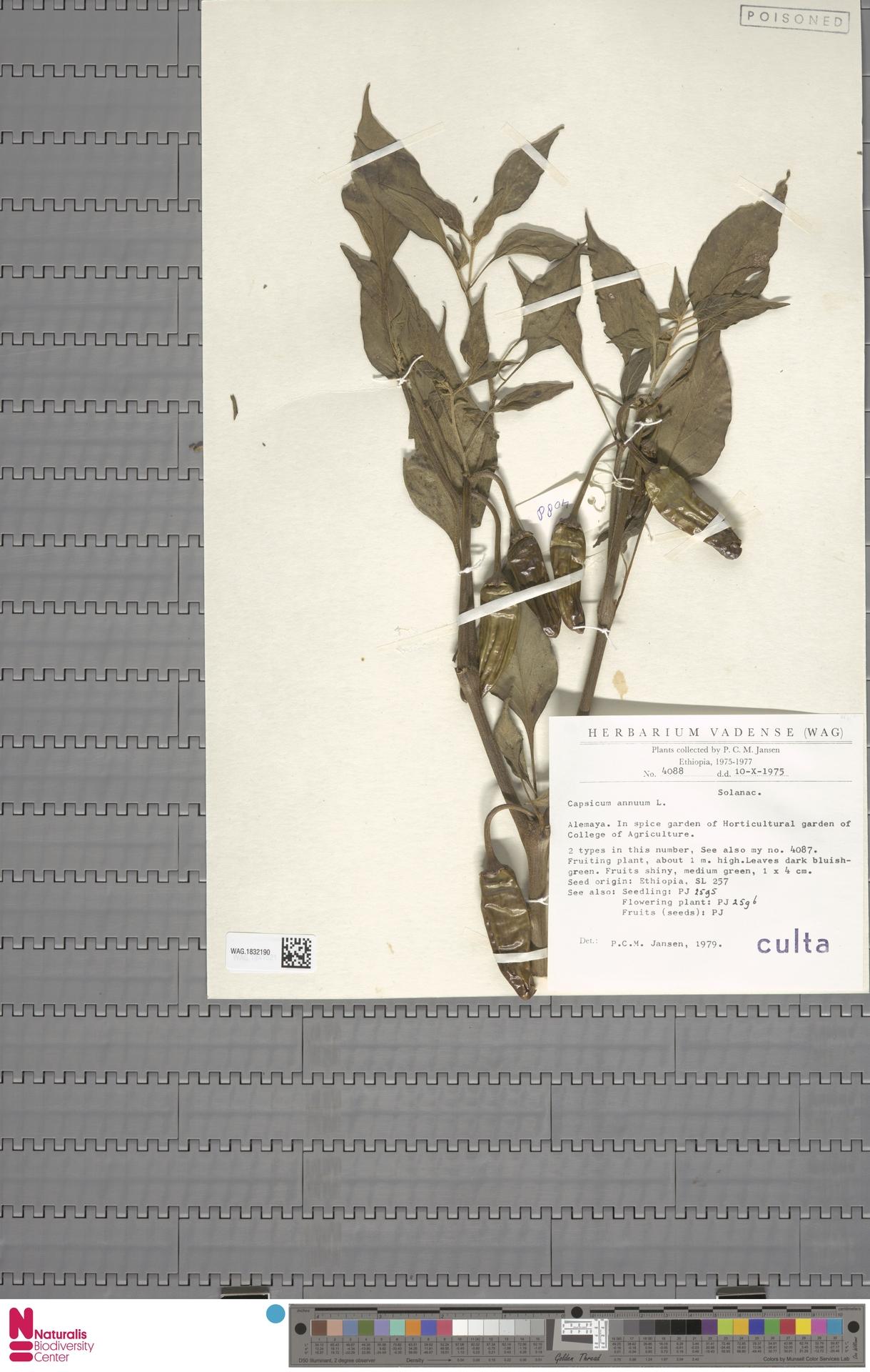 WAG.1832190   Capsicum annuum L.