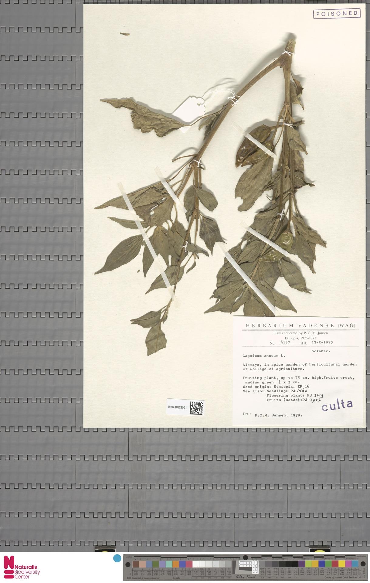 WAG.1832200 | Capsicum annuum L.